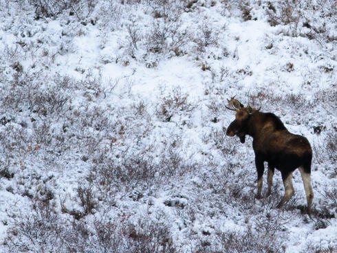moose on hill