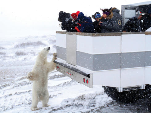 polar bear and truck