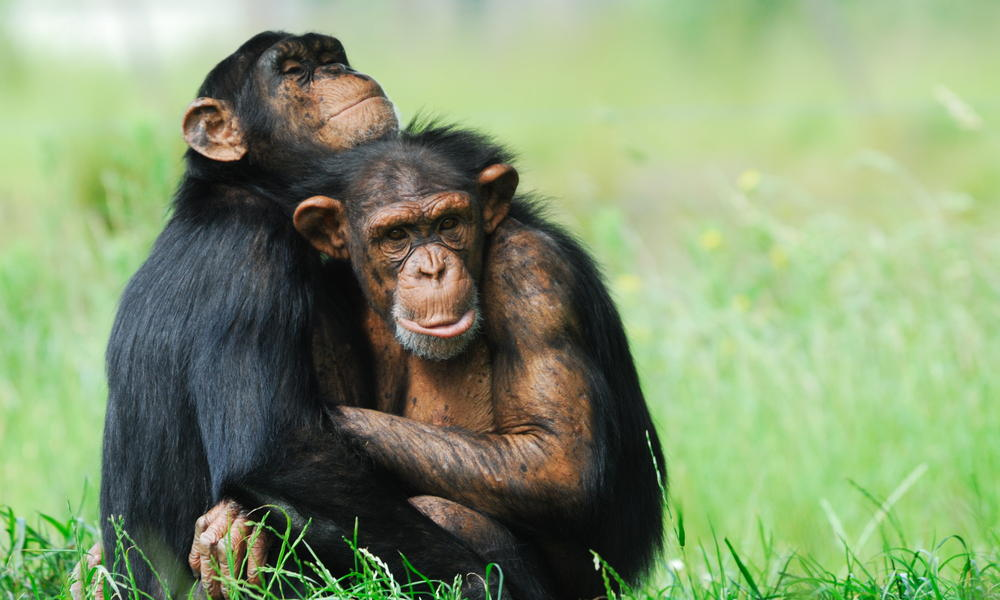 chimpanzees hugging