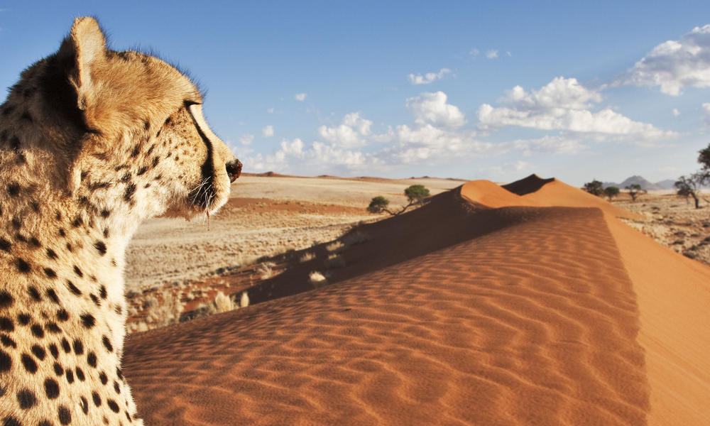 cheetah overlooking namibia