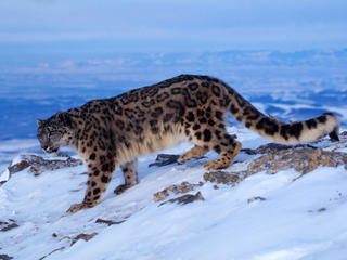 Snow_Leopard_Circle_image_MID_54145.jpg