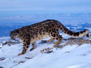 Snow_Leopard_Circle_image_MID_54145.jpg