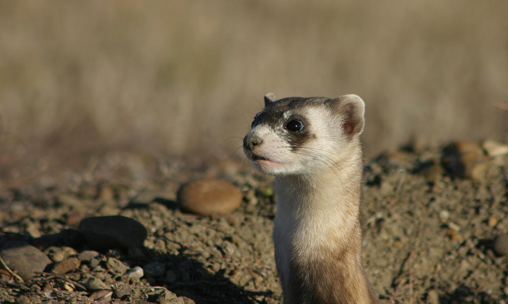 Black-Footed Ferret Facts: The Masked Bandits of the