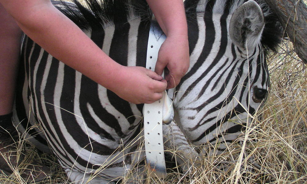 zebra collaring