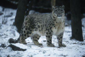 LG-Snow_Leopard_Hero_image_(c)_Martin_Harvey__WWF_Canon.jpg