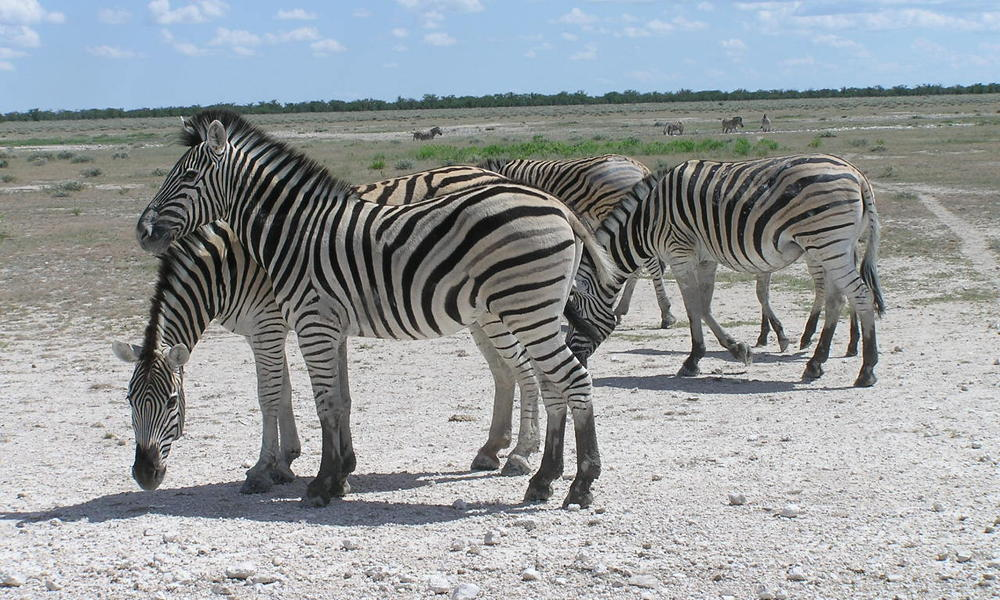 zebras on dirt