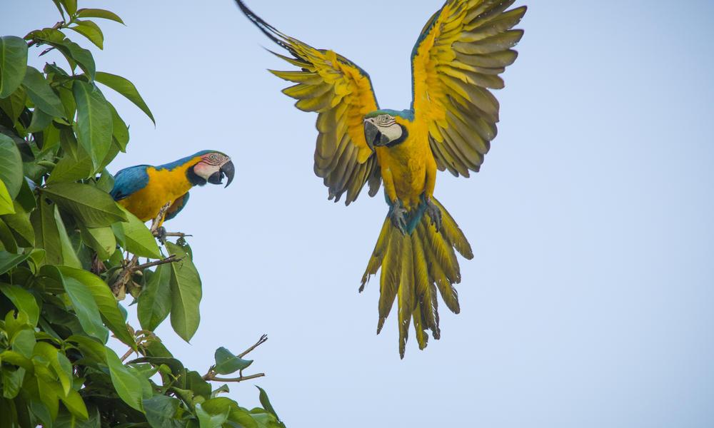 macaws Amazon