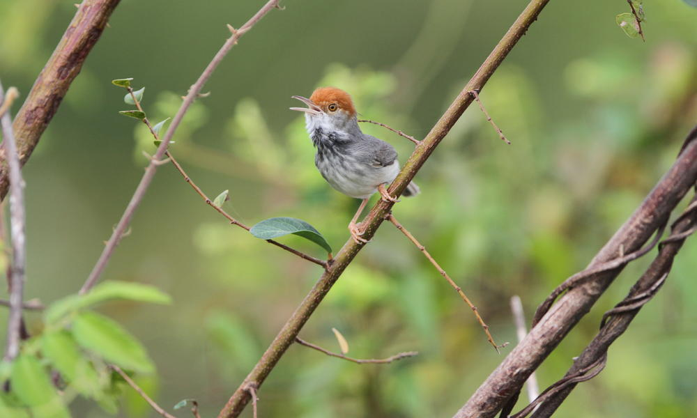 tailorbird in tree