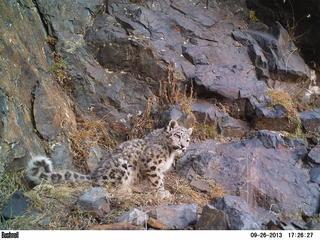 snow leopard in Mongolia