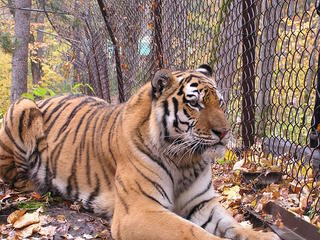 captive tiger behind fence