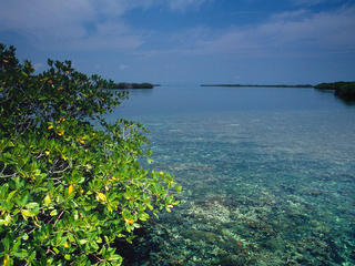 coral reef and mangrove Carrie Bow Cay Belize