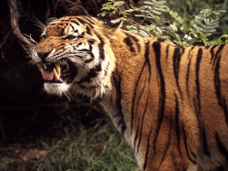 tiger growling