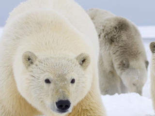 Polar bear sow and two cubs in Alaska