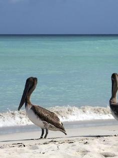 Cuban-Pelicans-iStock_000040836762Medium_cienaga_de_zapata_np.jpg
