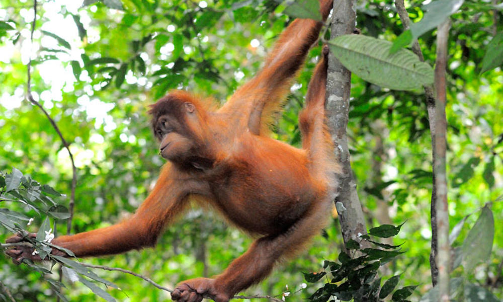 Orangutans why they matter %28c%29 fletcher and baylis wwf indonesia
