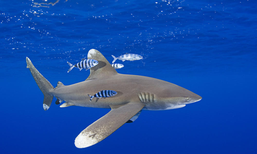 Greater Protection for Sharks and Manta Rays