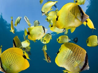 lemon butterfly fish
