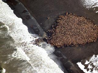 walrus haulout