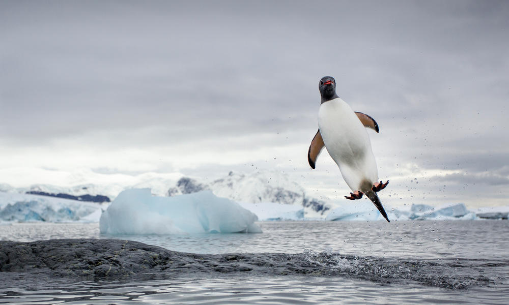 Flying Penguin | Magazine Articles | WWF | 1000 x 600 jpeg 63kB