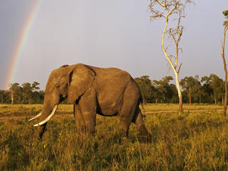 African Elephant (Loxodonta africana) in Masai Mara National Reserve, Kenya