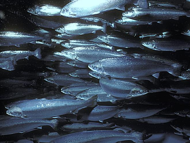 aquaculture-salmon-why-mattersHI_235578.jpg