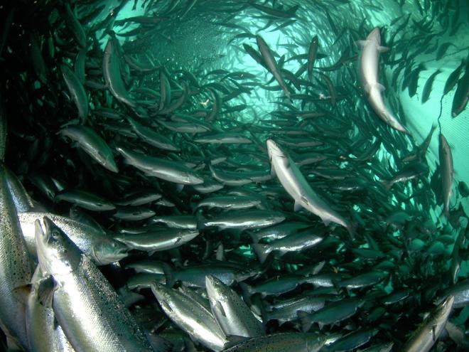 farmed-salmon-mattersHI_224972.jpg