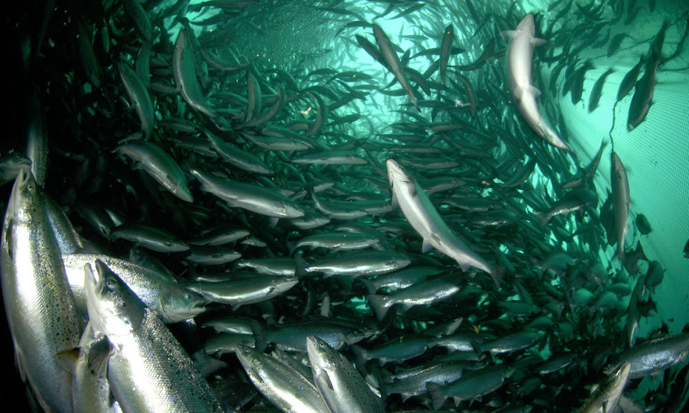 Spawning a sustainable industry for farm raised salmon for Sustainable fishing definition