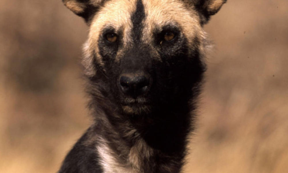 LG_African_Wild_Dog_Circle_Image_102720.jpg