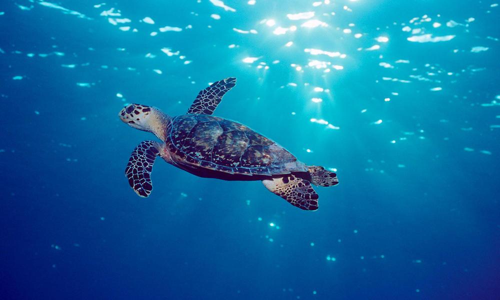 Hawksbill turtle (Eretmochelys imbricata) Grand Cayman, Caribbean, Atlantic Ocean