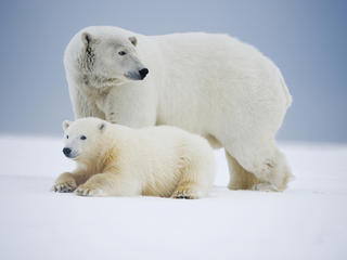 polar bear Beaufort Sea