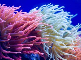 Sea anemone swaying in the ocean current.