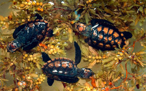 Newly hatched hawksbill turtles in Belize.