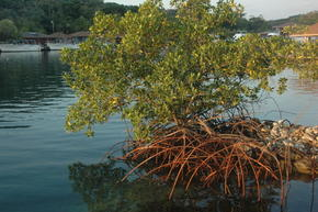 Mangrove in Honduras.