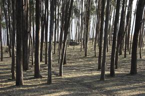 Eucalyptus forest, Peru