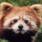 Ailurus fulgens  Red panda  Captive at Hetaoping breedingCentre  Wolong, China  (5.1995)