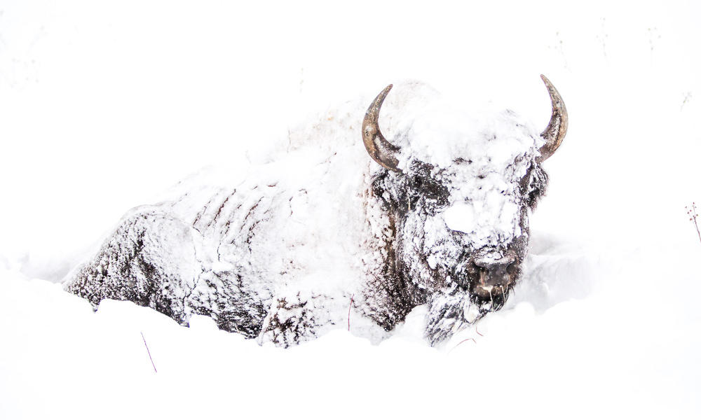 File:Snow-covered Bison bison.jpg - Wikimedia Commons