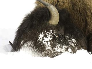 bison plow