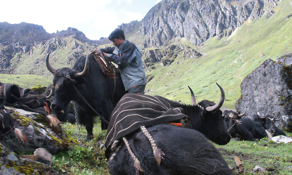 Yak herder in Bhutan getting ready to move to his winter pasture. We work with yak herders and other community groups to reduce human impact on the red panda's fragile habitat.