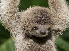 baby sloth hanging