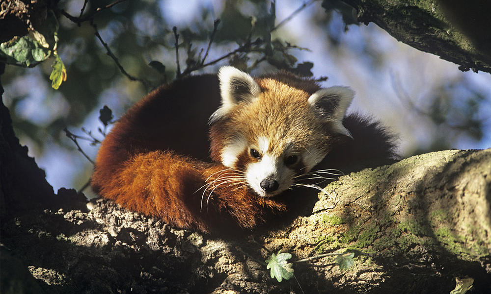 Red Panda (Allurus fulgens)