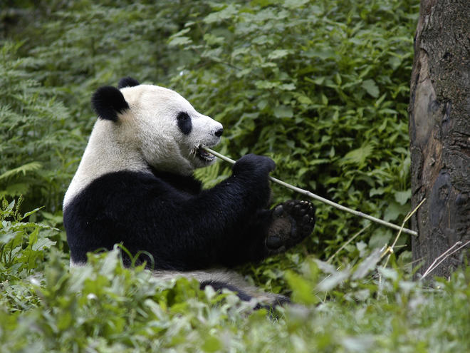 Giant_Panda_Why_They_Matter_image_(c)_Bernard_De_Wetter_WWF_Canon.jpg