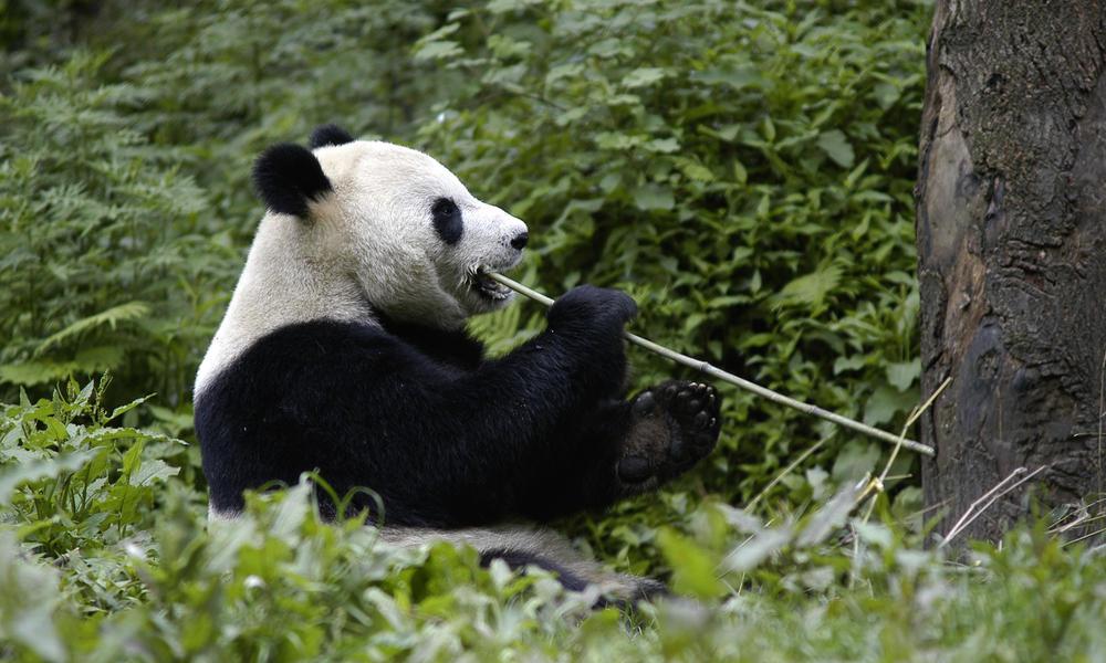Giant_Panda_Why_They_Matter_image_(c)_Bernard_De_Wetter_WWF_Canon.jpg?1345563751