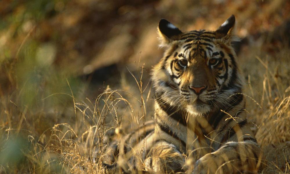 bengal tiger status