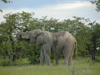 Namibia Elephant
