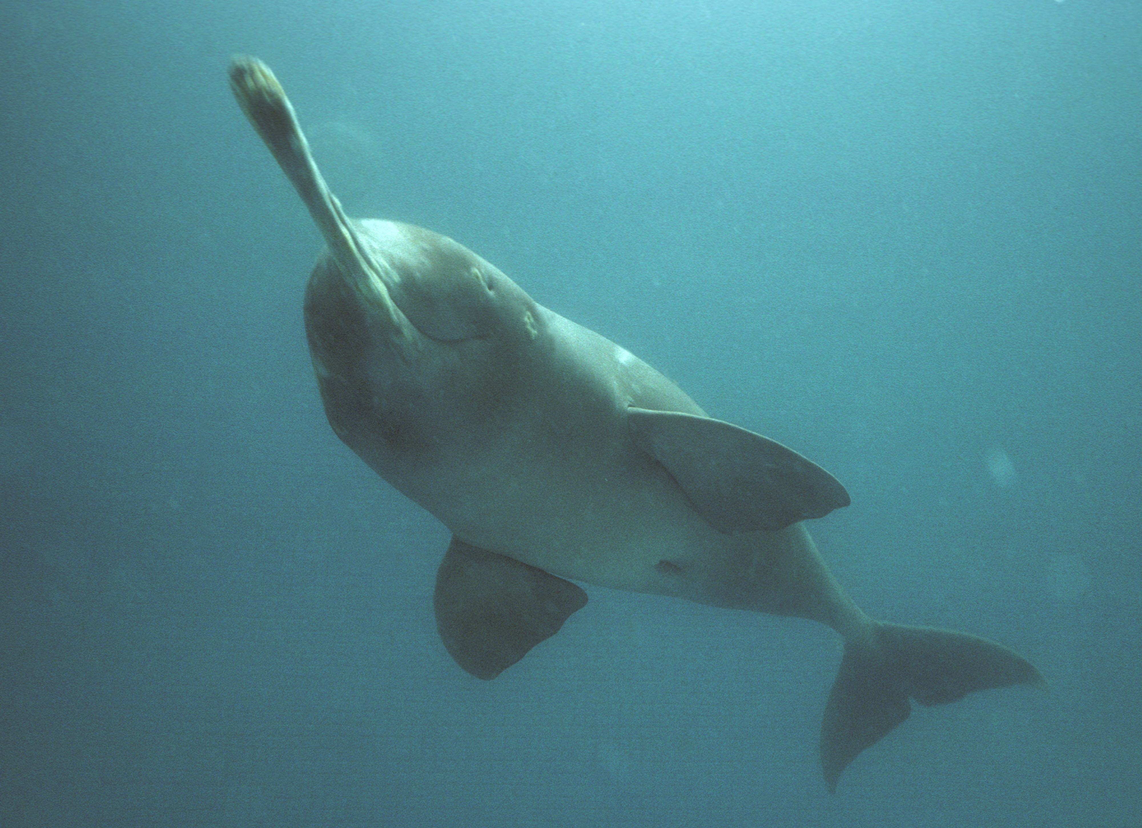Dolphin With Horn Ganges River Dolphin