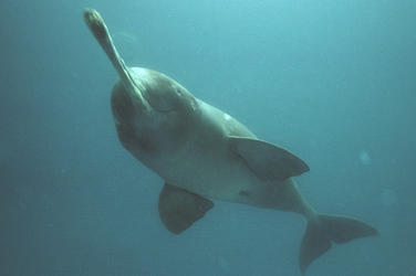 Ganges_river_dolphin_7.26.2012_hero_and_circle_hi_114110