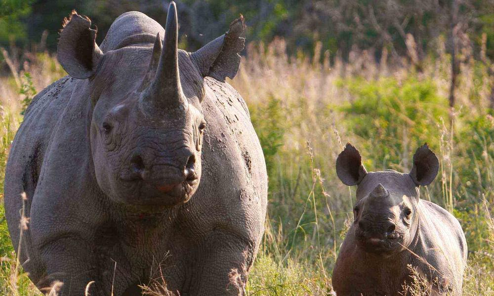 South African rhino poaching numbers show need for urgent ...