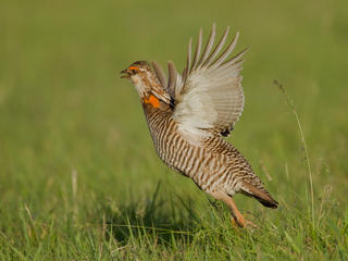 prairie chicken mating dance