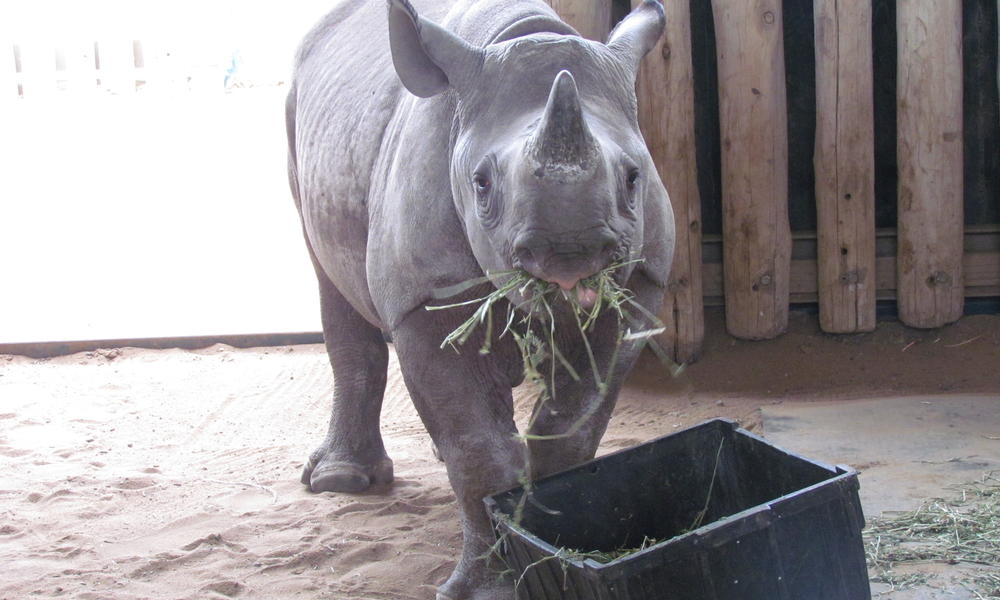 orphaned rhino  in South Africa