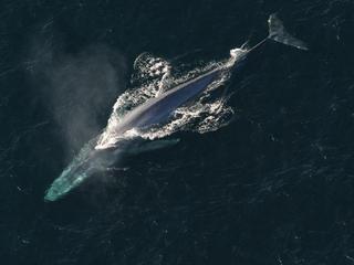 blue whale aerial